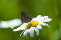 Lycaenidae do lat da Cobre-borboleta Fotografia de Stock