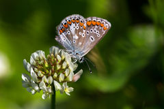 Lycaenidae on the flower. Lycaenidae butterfly on the meadow. Macro photography of wildlife Stock Photography