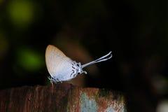 Lycaenidae na drewnie Zdjęcie Stock