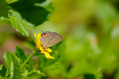 Lycaenidae na folha verde Imagens de Stock