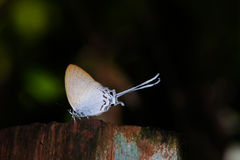 Lycaenidae sur le bois Photo stock