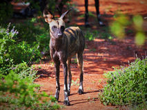 Lycaon, the African wild dog. Tsavo West, Kenya, Africa. Stock Photography