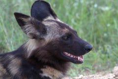 lycaon panafrykańskiego psi wilder pictus Zdjęcie Royalty Free