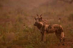 lycaon panafrykańskiego psi wilder pictus Fotografia Stock