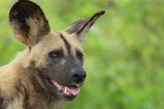 lycaon panafrykańskiego psi wilder pictus Obraz Royalty Free