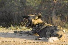 lycaon panafrykańskiego psi wilder pictus Zdjęcie Stock