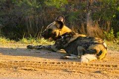 lycaon panafrykańskiego psi wilder pictus Zdjęcia Royalty Free