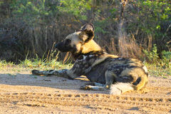 lycaon panafrykańskiego psi wilder pictus Fotografia Royalty Free