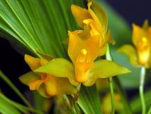 Lycaste aromatica, Orchidee Stockbild