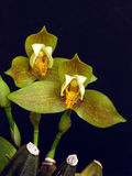 Lycaste deppei Stock Photo