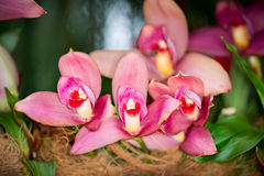 Lycaste hybrid orchid flower, close up royalty free stock photography