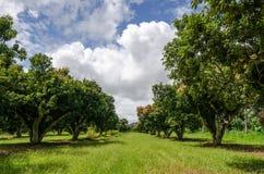 lychee树在庭院里增长美妙地被安排 库存图片