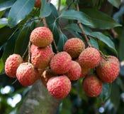 lychee Стоковые Фото