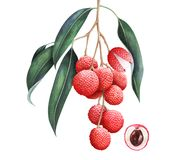 Lychee branch isolated on white background. Hand drawn watercolor illustration. Lychee branch isolated on white background. Watercolor hand drawn illustration stock illustration