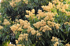 Lychee flower Stock Photos