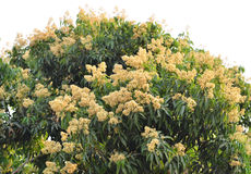 Lychee flower Stock Image