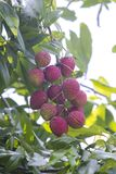 Lychee fruits, locally called Lichu at ranisonkoil, thakurgoan, Bangladesh. The Lychee is a fresh small fruit having whitish pulp with fragrant flavor. The royalty free stock photos