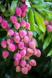 Lychee fruits, locally called Lichu at ranisonkoil, thakurgoan, Bangladesh. The Lychee is a fresh small fruit having whitish pulp with fragrant flavor. The royalty free stock photography