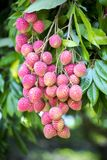 Its lychee picking time at ranisonkoil, thakurgoan, Bangladesh. The Lychee is a fresh small fruit having whitish pulp with fragrant flavor. The fruit is covered stock images