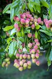 Lychee fruits, locally called Lichu at ranisonkoil, thakurgoan, Bangladesh. The Lychee is a fresh small fruit having whitish pulp with fragrant flavor. The royalty free stock image