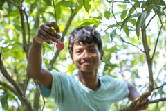 A kid plucks lychee from a tree at ranisonkoil, thakurgoan, Bangladesh. The Lychee is a fresh small fruit having whitish pulp with fragrant flavor. The fruit is stock image