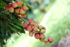 Lychee fruits, locally called Lichu at ranisonkoil, thakurgoan, Bangladesh. The Lychee is a fresh small fruit having whitish pulp with fragrant flavor. The royalty free stock images