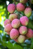 Its lychee picking time at ranisonkoil, thakurgoan, Bangladesh. The Lychee is a fresh small fruit having whitish pulp with fragrant flavor. The fruit is covered royalty free stock photos