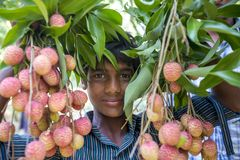 A kid showing lychees fruits, locally called Lichu at ranisonkoil, thakurgoan, Bangladesh. The Lychee is a fresh small fruit having whitish pulp with fragrant royalty free stock images