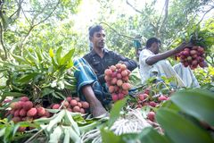 Farmer keeping fresh lychees and bunding up to sell in local market at ranisonkoil, thakurgoan, Bangladesh. The Lychee is a fresh small fruit having whitish royalty free stock image