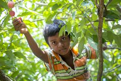 A kid plucks lychee from a tree at ranisonkoil, thakurgoan, Bangladesh. The Lychee is a fresh small fruit having whitish pulp with fragrant flavor. The fruit is stock photo