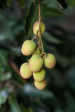 Lychee Frucht Stockfotografie