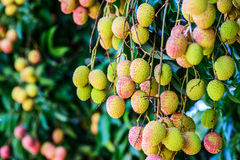 Lychee fruit (asia fruit) on the tree. Royalty Free Stock Photo