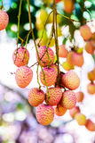 Lychee fruit (asia fruit) on the tree. Stock Photography