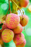 Lychee fruit (asia fruit) on the tree. Stock Images