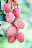 Lychee fruit (asia fruit) on the tree. Stock Photos