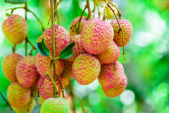 Lychee fruit (asia fruit) on the tree. Royalty Free Stock Images