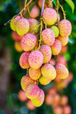 Lychee fruit (asia fruit) on the tree,Chiang Mai, Thailand. Stock Photo