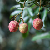 Lychee fruit Royalty Free Stock Photos