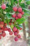 Lychee fruit Stock Image