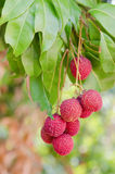 Lychee fruit Stock Images
