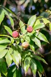 Lychee fruit in its natural habitat Royalty Free Stock Images