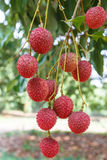 Lychee. The lychee fruit with at lychee tree Stock Images