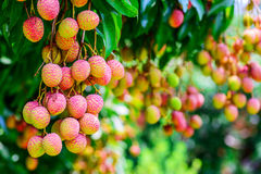 Lychee fruit on the tree in the garden of thailand, Asia fruit. Royalty Free Stock Photo
