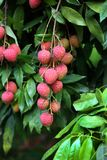 Lychee fruits, locally called Lichu at ranisonkoil, thakurgoan, Bangladesh. The Lychee is a fresh small fruit having whitish pulp with fragrant flavor. The stock photo