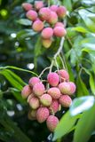 Lychee fruits, locally called Lichu at ranisonkoil, thakurgoan, Bangladesh. The Lychee is a fresh small fruit having whitish pulp with fragrant flavor. The royalty free stock photo
