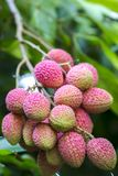 Lychee fruits, locally called Lichu at ranisonkoil, thakurgoan, Bangladesh. The Lychee is a fresh small fruit having whitish pulp with fragrant flavor. The stock image