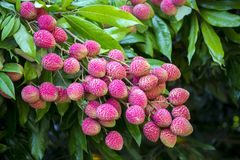 Lychee fruits, locally called Lichu at ranisonkoil, thakurgoan, Bangladesh. The Lychee is a fresh small fruit having whitish pulp with fragrant flavor. The stock images