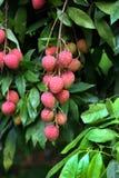 Lychee owoc, w okolicy nazwany Lichu przy ranisonkoil, thakurgoan, Bangladesz Zdjęcie Stock