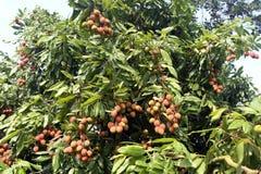Lychee owoc, w okolicy nazwany Lichu przy ranisonkoil, thakurgoan, Bangladesz Fotografia Stock