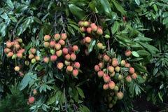 Lychee owoc, w okolicy nazwany Lichu przy ranisonkoil, thakurgoan, Bangladesz Fotografia Royalty Free